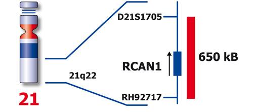 RCAN1 (21q22) product photo Front View S